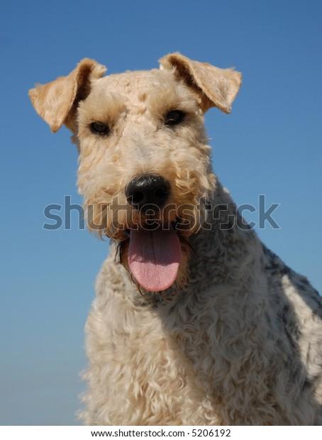 portrait of a beautiful purebred fox terrier in a blue sky