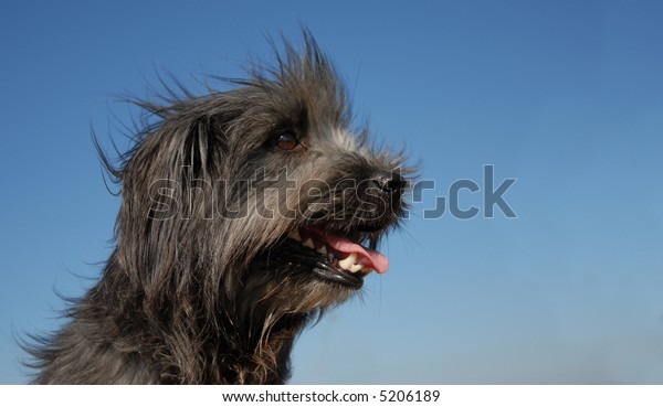 portrait of a beautiful purebred pyrenean shepherd in blue sky