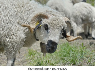 portrait of beautiful ram with its horns twisted in a herd