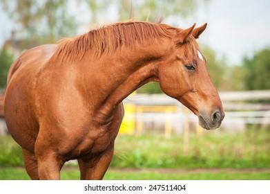 Portrait of beautiful red stallion