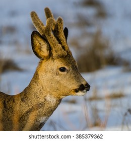 A portrait of a beautiful roebuck (Capreolus capreolus)  with his new antlers which still are covered with velvet.