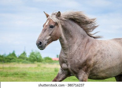 Portrait of beautiful running lithuanian heavy horse