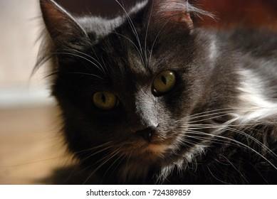 Portrait of beautiful russian cat.