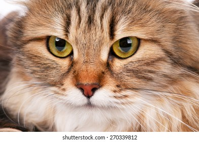 Portrait of a beautiful siberian cat with big yellow eyes close-up