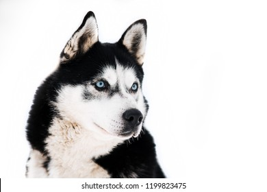 Portrait of a beautiful Siberian husky with blue eyes on a white background