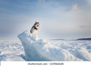 Portrait of beautiful Siberian husky on ice floe on the frozen Okhotsk sea background. Image of Free and wise husky dog is sitting on the snow and looking into the distance.