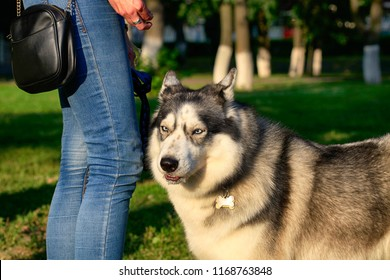 Portrait of a beautiful Siberian husky outdoors in a park on a leash next to a woman