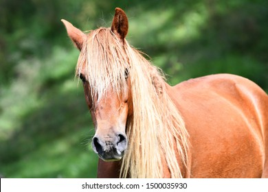 Portrait  of a beautiful Sorrel or chestnut color young horse in a green field