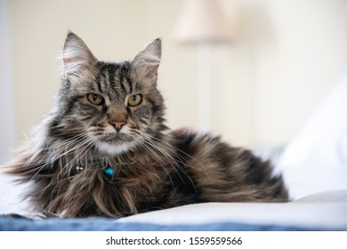 Portrait of a beautiful striped Maine Coon cat wearing a blue bell on the collar lying down on blue and white bedsheet with the wall and a lamp blurred as a background