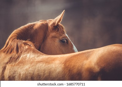 portrait of beautiful stunning chestnut budyonny gelding horse looking from behind in spring daytime