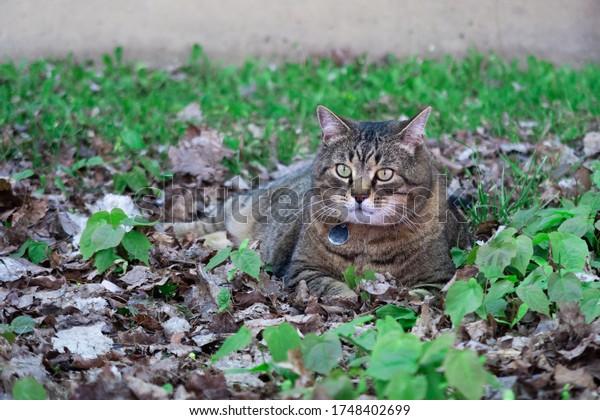 portrait-beautiful-tabby-cat-felis-600w-