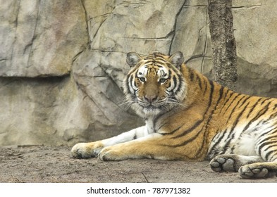 Portrait of the beautiful tiger