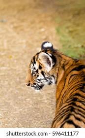 Portrait of a beautiful tiger cub