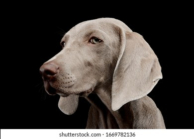 Portrait of a beautiful Weimaraner looking curiously at the camera