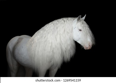Portrait of a beautiful white gypsy horse with long mane on black background isolated