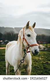 Portrait of a beautiful white horse in nature looking to the right with the mountains in the background, a green pasture