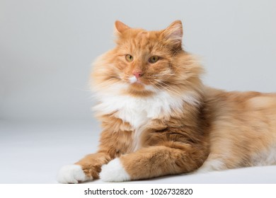 Portrait of beautiful white and orange long-haired Norwegian Forest Cat, sitting in front of camera and isolated on white background