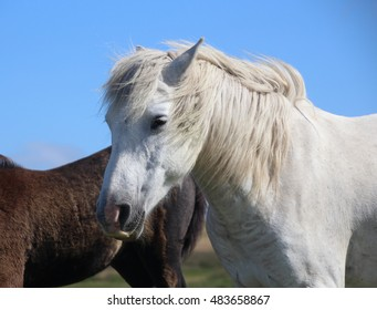 Portrait of a beautiful white pony with flowing white mane