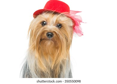Portrait of beautiful yorkshire terrier dog in fancy red hat. Isolated over white background. Copy space.