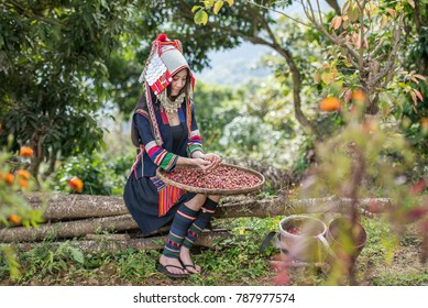 Portrait of beautiful young asian lady Akha tribe,Akha hill picking arabica coffee berries in red and green on its branch tree at plantation, Chiang Rai Thailand