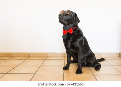 Portrait of a beautiful young black labrador wearing a red bowtie and modern sunglasses. He is looking at the camera. White background. Love for animals concept and lifestyle