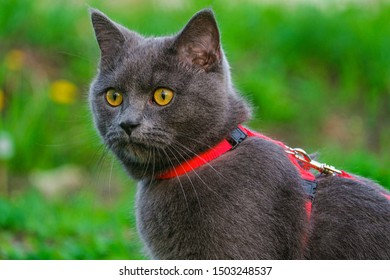 Portrait of beautiful young British blue shorthair cat in harness.  Purebred gray cat with yellow eyes.
