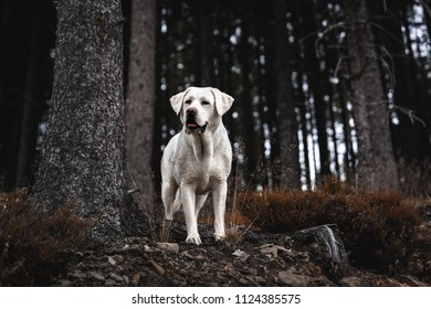 portrait of beautiful young cute white labrador retriever dog puppy standing in a dark forest