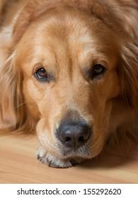 Portrait of a beautiful young dog - golden retriever