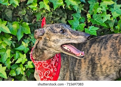 Portrait of a beautiful young greyhound outdoor