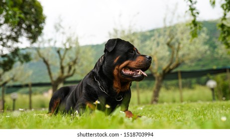 Portrait of beautiful young rottweiler dog laying in the garden on the grass. Happy pet with tongue pulled out looking into the distance. Muscular purebred dog playing outdoors
