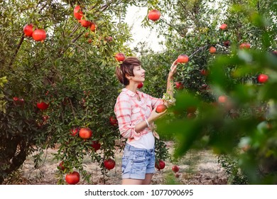 Portrait of Beautiful young woman in in a checkered red shirt picking ripe organic pomegrate fruits in the garden Harvest time concept. Sunset light. soft selective focus, space for text