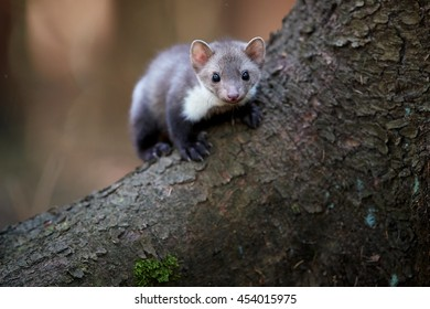 Portrait of  beech marten. Small, agile predator, stone marten, Martes foina, in typical european forest environment.