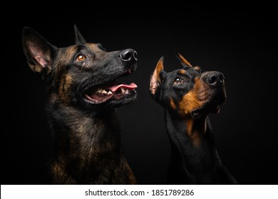 Portrait of a Belgian shepherd dog and a Doberman on an isolated black background. Studio shot, close-up.