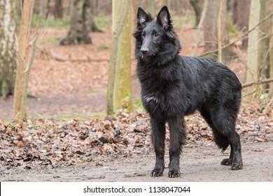 Portrait of Belgian Shepherd groenendeal in Belgium