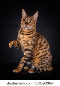 Portrait of a Bengal cat of 8 month old, with his paw in the air, looking to the left, isolated on black background