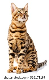portrait Bengal cat on white background sits quietly and looks up with interest