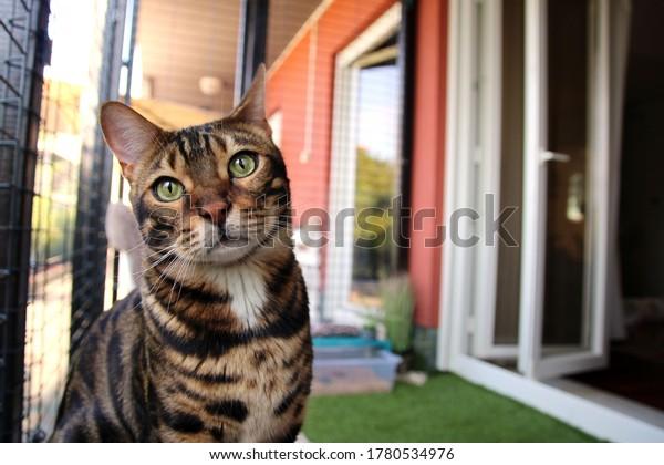 Portrait of a bengal cute cat, closeup