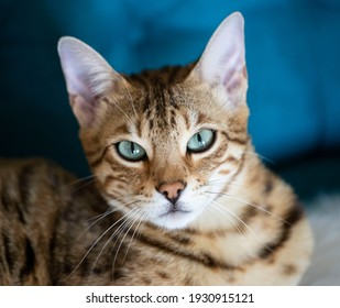 Portrait of a bengal kitten cat, cat looking at camera. Cat with amazing  eyes. close up