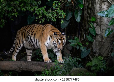 Portrait of bengal tiger in forest
