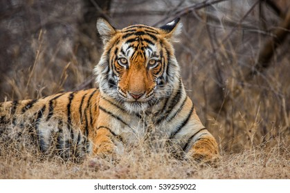 500 Tiger Attack Pictures Royalty Free Images Stock Photos And