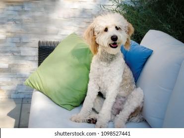 Portrait of a Bernedoodle