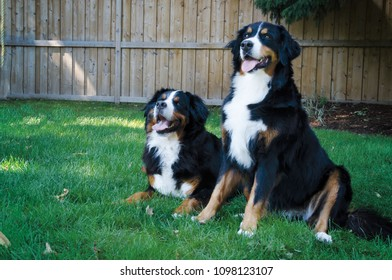 Portrait of a Bernese Mountain Dog