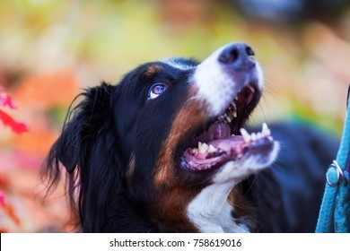 portrait of a Bernese mountain dog with autumn colors in the background