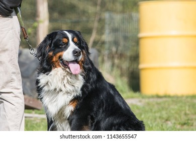 Portrait of a Bernese Mountain Dog living in Belgium