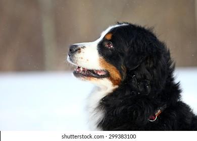portrait bernese mountain dog sitting 260nw