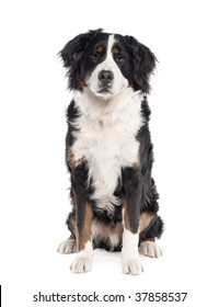 Portrait of Bernese mountain dog sitting in front of white background, studio shot