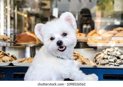 Portrait of a Bichon Frise