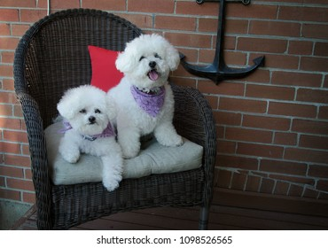Portrait of a Bichon Frise