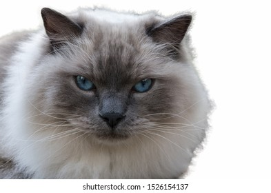 Portrait of big adult siamese cat isolated on the white background, focus on the nose and eye on the left. Serious snout of animal with blue eyes, stern look. The cat looks straight into the camera.