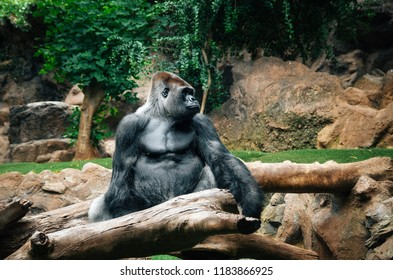 Portrait of big black gorilla sitting on log at the zoo, outdoor in Loro Park, Tenerife, Canary islands, Spain